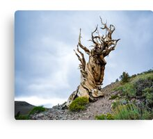 The Ancient and twisted Bristlecone pine Tree Canvas Print