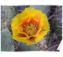 Prickly Pear Cactus Bloom Poster