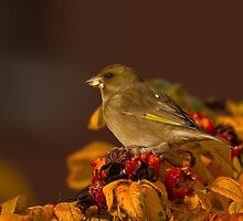 Greenfinch by Jon Lees