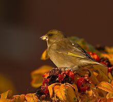 Greenfinch by Jon Lees