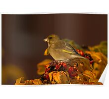 Greenfinch Poster
