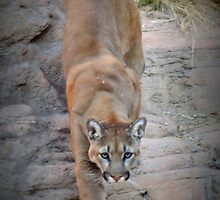 Mountain Lion  by Kimberly Chadwick