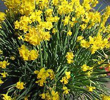 Heralds of Spring - Keukenhof Daffodil Display by MidnightMelody