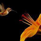 HUMMINGBIRD IN FLIGHT by RoseMarie747