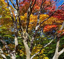 Japanese Maple Foliage at Queen Elizabeth Park by Michael Russell