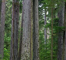 Cathedral Grove Forest by Michael Russell
