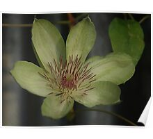 Clematis henryi in Winter Poster
