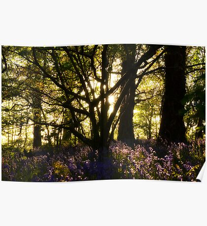 Bluebell wood Rose craddoc woods Poster