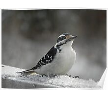 Male Downey Woodpecker on Ice Crystals Poster