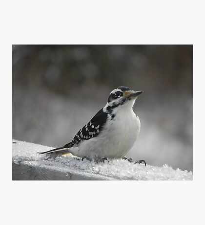 Male Downey Woodpecker on Ice Crystals Photographic Print