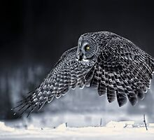 Great Grey Owl by Owl-Images