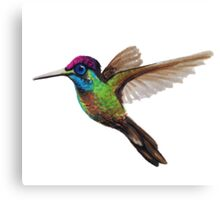 Hummingbird Sue Canvas Print