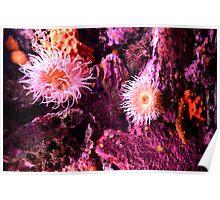 Sea Anemones @ Monterey Bay Aquarium Poster