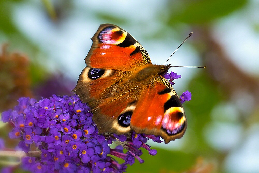 Peacock Butterfly (Inachis io) by Mark Kenwood