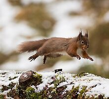 Running Red Squirrel by Andrewstockham