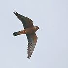 red footed falcon by Grandalf