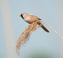 bearded tit by Grandalf