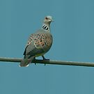 turtle dove by Grandalf