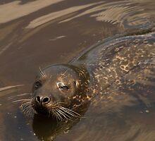 Grey seal by Jon Lees