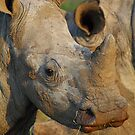 Young white rhino by Dan MacKenzie