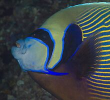 Emperor Angelfish by Mark Rosenstein