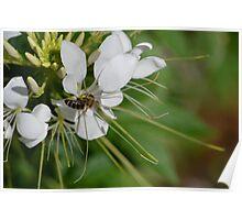 Bee Landing On White Flower Poster