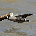 Brown Pelican by SuddenJim