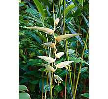 Pale Heliconia Photographic Print