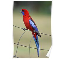 Crimson Rosella. Cedar Creek, Qld, Australia. Poster