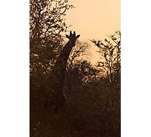 Giraffe at Dusk Photographic Print