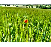 Poppy in a corn field Photographic Print