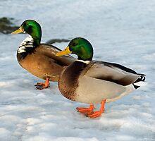 Two Mallard Ducks in the Snow by Nick Jenkins