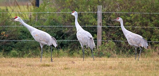 More Sand Hill Cranes by SuddenJim