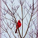 Cardinal in the Dogwood Tree in December by TrendleEllwood