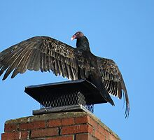 Turkey Vulture  by Sheryl Hopkins