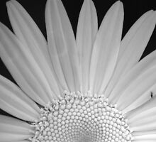 Daisy monochrome by Jean-Paul Boudreau