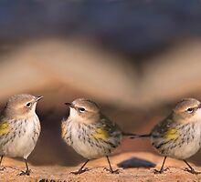 Warbler X 3 by Bonnie T.  Barry