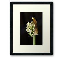 flower-white-agapanthus-bud Framed Print