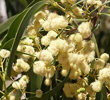 Acacia implexa by Dreamanon