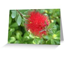 Beautiful Bottle Brush Flower With Garden Background Greeting Card