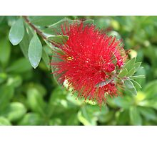 Beautiful Bottle Brush Flower With Garden Background Photographic Print