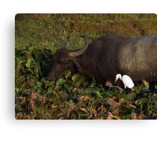 Water Buffalo and Egret Canvas Print