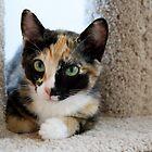 Tortoiseshell kitten by wsellers