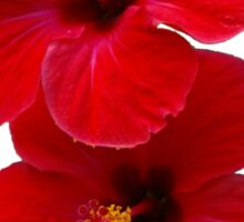 Two Red Hibiscus Flowers Sticker