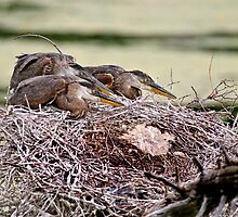 Great Blue Heron Chicks by Heron-Images