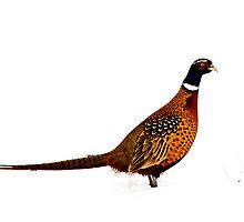 Pheasant in the Snow by Dawn Crouse