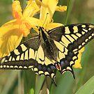 Swallowtail Butterfly on Yellow Flag Iris flowers, Norfolk Broads by Michael Field