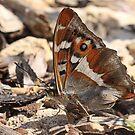 Purple Emperor Butterfly (underside) on dirt track, Northants by Michael Field