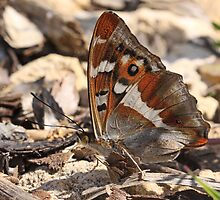 Purple Emperor Butterfly (underside) on dirt track, Northants by Michael Field