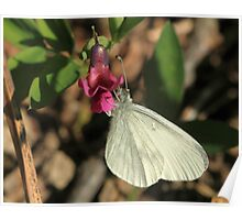 Wood White Butterfly on Vetchling flower, Herefordshire Poster